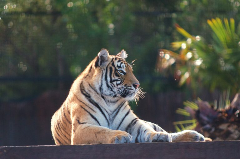 tiger lying on brown wooden floor during daytime
